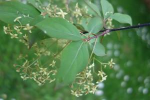 euonymus latifolius DSC08286