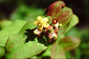 hypericum androsaemum PICT0003