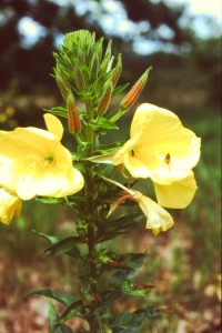 oenothera biennis PICT2598