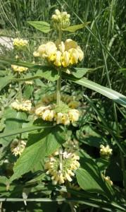phlomis fruticosa DSC08863