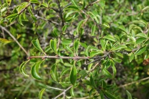 rhamnus saxatilis DSC02686