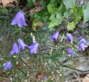campanula rotundifolia DSC01915