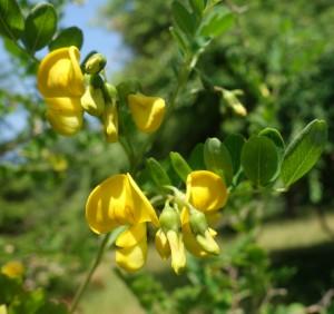 colutea arborescens DSC08904