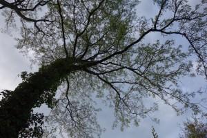 gleditsia triancanthos DSC01862