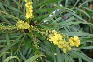 berberis ganpinensis DSC02117