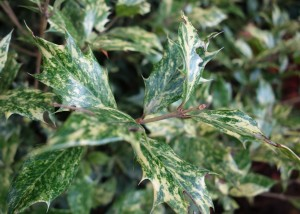 osmanthus heterophyllus goshiki DSC02099