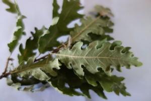 quercus pubescens DSC01689