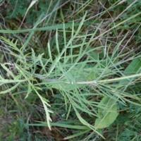 scabiosa%20canescens%20DSC02706