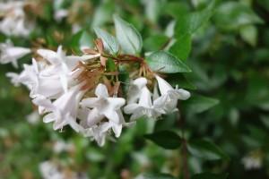 abelia grandiflora DSC02974
