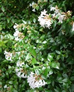 abelia grandiflora DSC02975