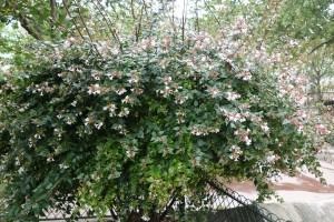 abelia grandiflora  paris DSC04478