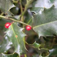 ilex aquifolium DSC02659