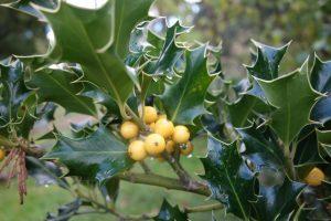 ilex-aquifolium-bacciflava-dsc03445