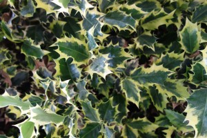 ilex aquifolium mmeBriot DSC04504