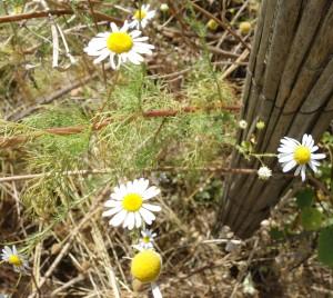 tripleurospermum inodorum DSC05067