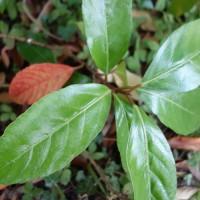 viburnum odoratissimum DSC02989