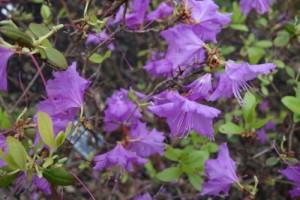 rhododendron dauricum DSC04139