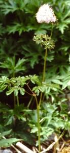thalictrum aquilegifolium PICT2618