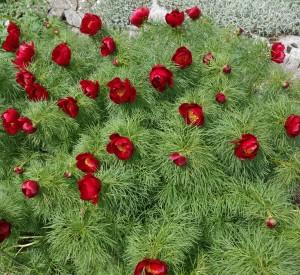 paeonia tenuifolia DSC03402