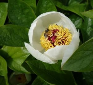 paeonia wittmanniana DSC03450