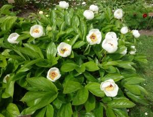paeonia wittmanniana DSC03451