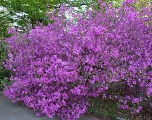 rhododendron reticulatum DSC03296