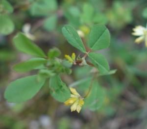 trifolium dubium DSC03803