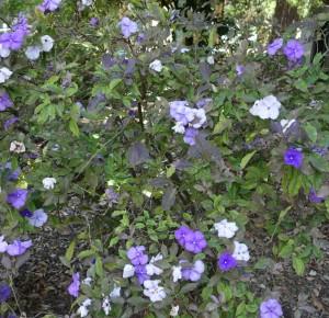 brunfelsia calycina DSC04086