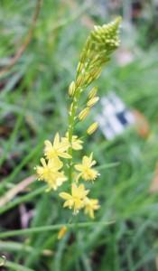 bulbine frutescens DSC03085