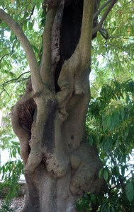cocculus laurifolius DSC03949 (3)