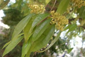 cocculus laurifolius DSC03949 (4)