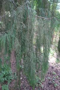 cupressus funebris DSC03993