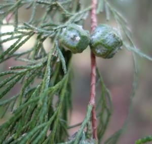 cupressus funebris DSC03995