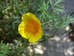 eschscholzia californica DSC04097