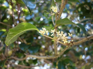osmanthus fragrans DSC01708
