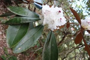 rhododendron rex DSC03354