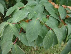 dipelta floribunda DSC04517