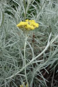 helichrysum italicum DSC04485