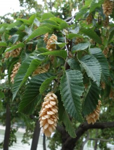 ostrya carpinifolia DSC04392