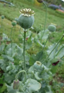 papaver somniferum DSC04507