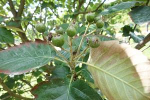 sorbus latifolia DSC04527