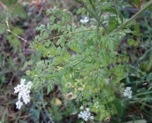 aethusa cynapium DSC04768