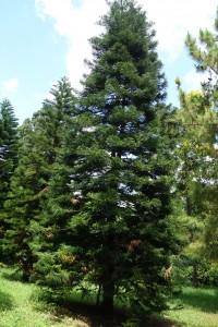 araucaria columnaris DSC03998DSC03998