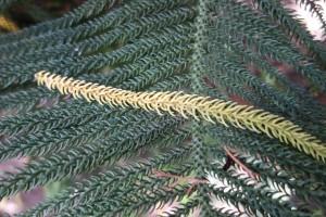 araucaria heterophylla DSC03983
