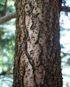 araucaria heterophylla DSC03985