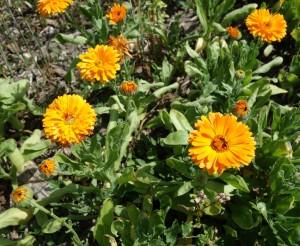 calendula officinalis DSC05015
