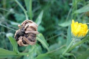 calendula officinalis DSC05096