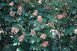 hydrangea-quercifolia-dsc05370
