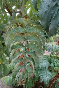 melianthus major DSC04904