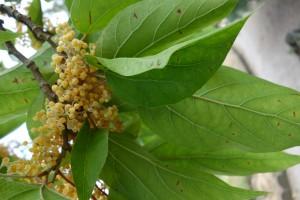 poliothrysis sinensis DSC04921